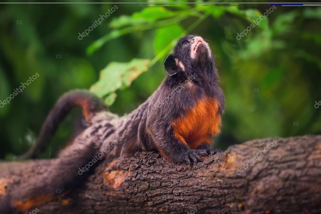 White-lipped tamarin, monkey sitting in a tree.