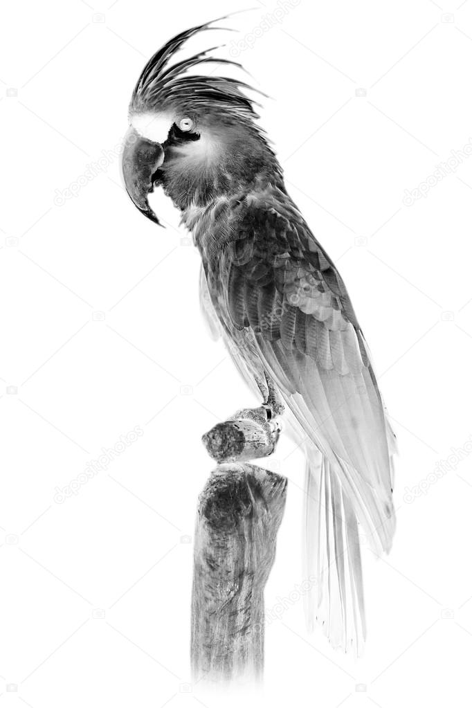 Black and white portrait of great grey Palm Cockatoo Parrot.