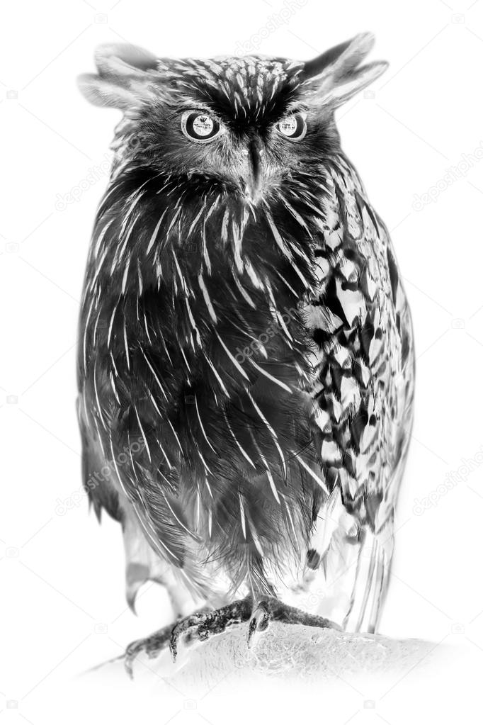 Black and white portrait of Buffy Fish Owl