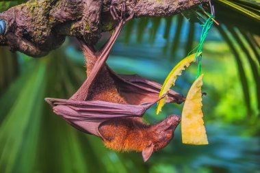 Malayan bat hanging on a tree branch