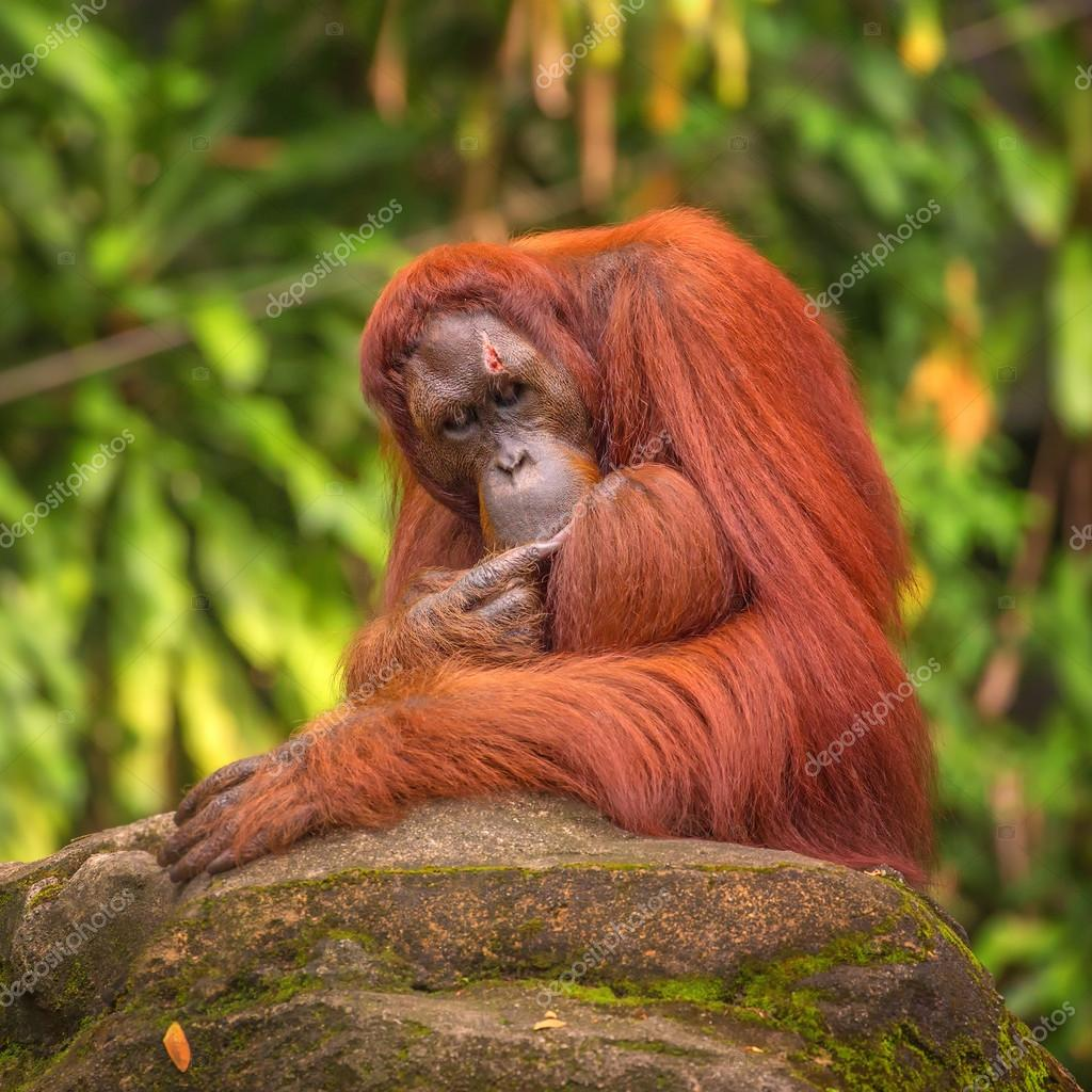 Orangutan in the Singapore Zoo