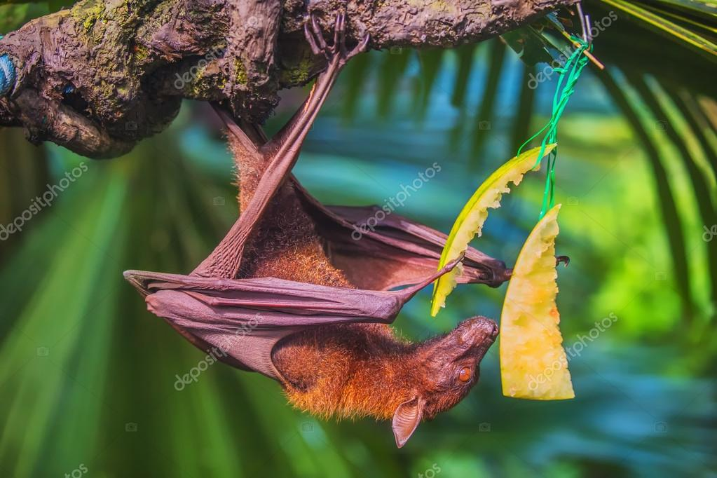 Malayan bat hanging on a tree branch
