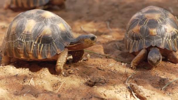 Sugárzó teknősök - Astrochelys radiata - súlyosan veszélyeztetett teknősbékafajok, Madagaszkáron endemikus, homokos talajon járva