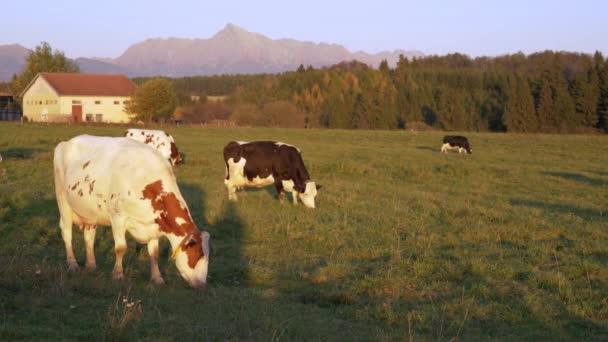 Skupina krav pasoucích se na západě slunce osvětlené louce, hospodářských budovách, lesích a vrcholu Kriváň (slovenský symbol) ve vzdálenosti