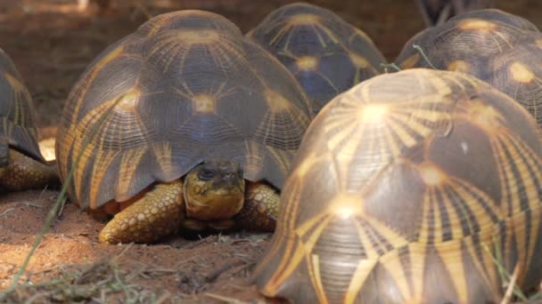 Sugárzó teknősök csoportja - Astrochelys radiata - súlyosan veszélyeztetett teknősfajok, amelyek Madagaszkáron endémiásak, lassan kúsznak a földön
