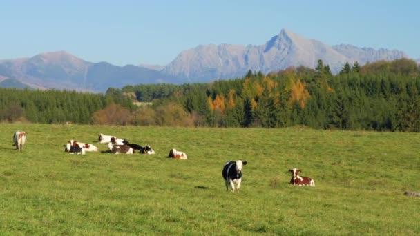 Skupina krav pasoucích se na zelené louce, malý les a vrchol Kriváně (slovenský symbol) na pozadí, jasná obloha nad