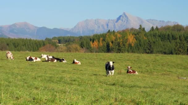 Stádo krav pasoucích se na louce, lesích a na vrcholu Kriváně (slovenský symbol)