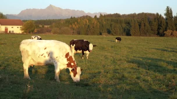 Skupina krav pasoucích se na odpolední sluncem osvětlené louce, malém lese, domech a hoře Kriváň (slovenský symbol) ve vzdálenosti