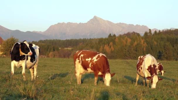 Skupina krav pasoucích se na odpolední osvětlené zelené louce, malém lese a na vrcholu Kriváně (slovenský symbol) ve vzdálenosti