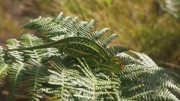 Drobné Klenoty Campan chameleon - Furcifer campani - procházky po zelených kapradinových listech osvětlených sluncem v jeho přírodním prostředí - Andringitra National Park. Většina chameleonů je endemická na Madagaskaru