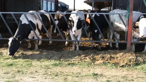 Krávy jedí seno na farmě, selektivní zaměření. Venkovská mléčná farma. Krávy za mřížemi. Černobílé krávy.
