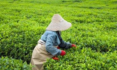 Pickers plucking tea leaves on plantation