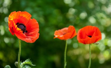 poppy. a herbaceous plant with showy flowers