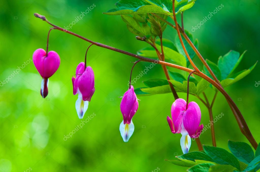 Lamprocapnos spectabilis. bleeding heart. Asian bleeding-heart.