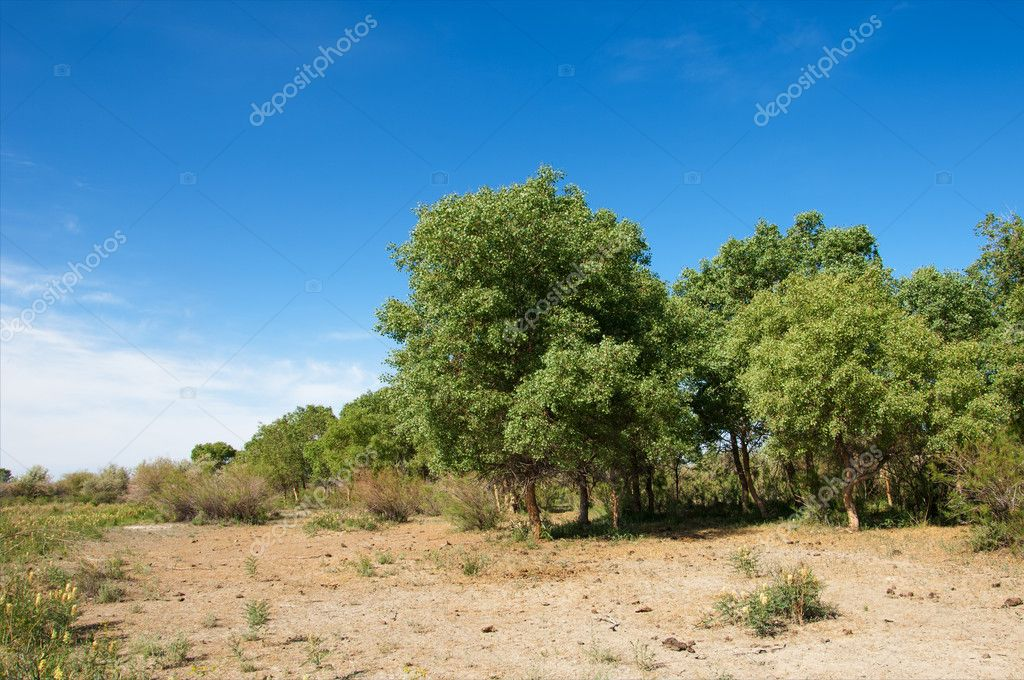 steppe, prairie, veldt, veld.  Spring Central Asia. Kazakhstan. turanga poplar.  Euphrates Poplar