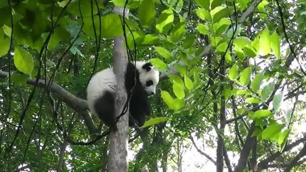Baby of Giant panda bear