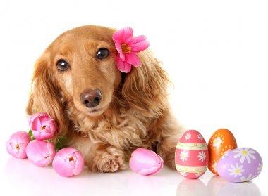 Easter dachshund puppy