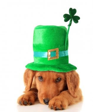 Irish setter puppy wearing hat.