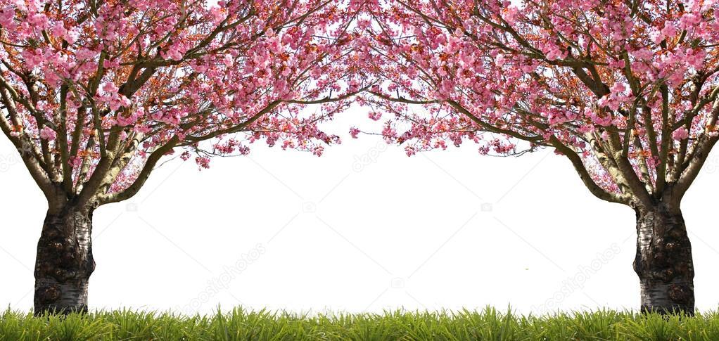 Fotos Cerezos En Flor Los Cerezos En Flor Foto De Stock