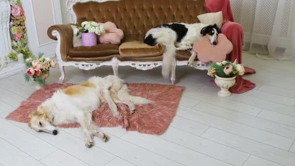 Černobílí a béžoví dospělí Ruští chrti leží - jeden na pohovce na polštáři a druhý na podlaze na koberci