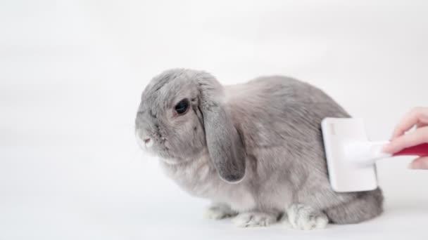 Grooming. Auf weißem Hintergrund sitzt ein graues Schlappohr-Zierkaninchen, das von einer Hand mit einem Kamm gekämmt wird. Zeitlupe. Das Konzept der Haustierpflege.