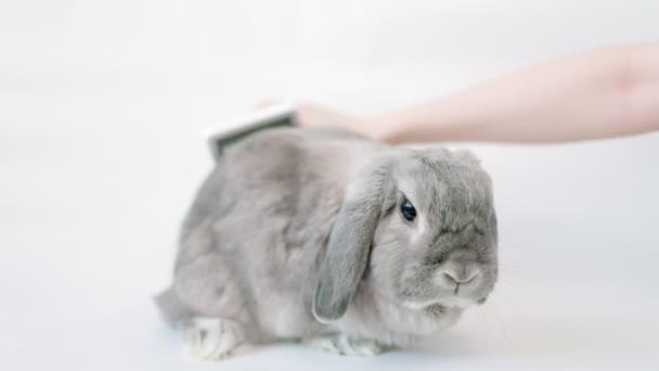 Ein niedliches graues Schlappohr-Zierkaninchen sitzt auf weißem Hintergrund, während es von einer Hand mit einem speziellen Kamm gekämmt wird. Das Konzept der Haustierpflege.