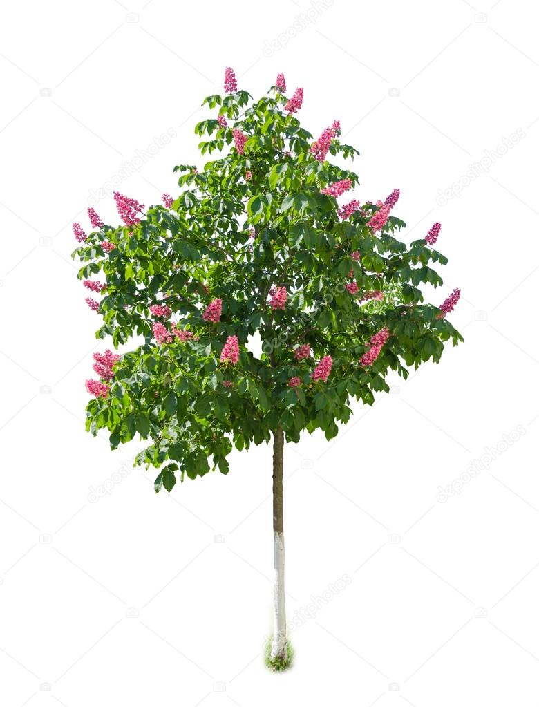 Tree Of Red Horse Chestnut With Flowers On Light Background Stock