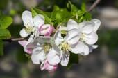 Kvetoucí větev stromu jablko
