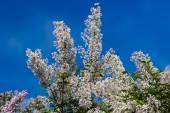 Fotografia Cespuglio lilla con fiori rosa pallido