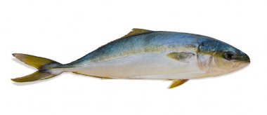 Whole round fish yellowtail