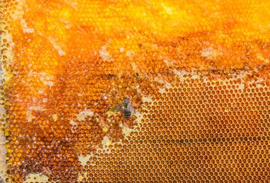 Honeycombs filled with honey and bee closeup