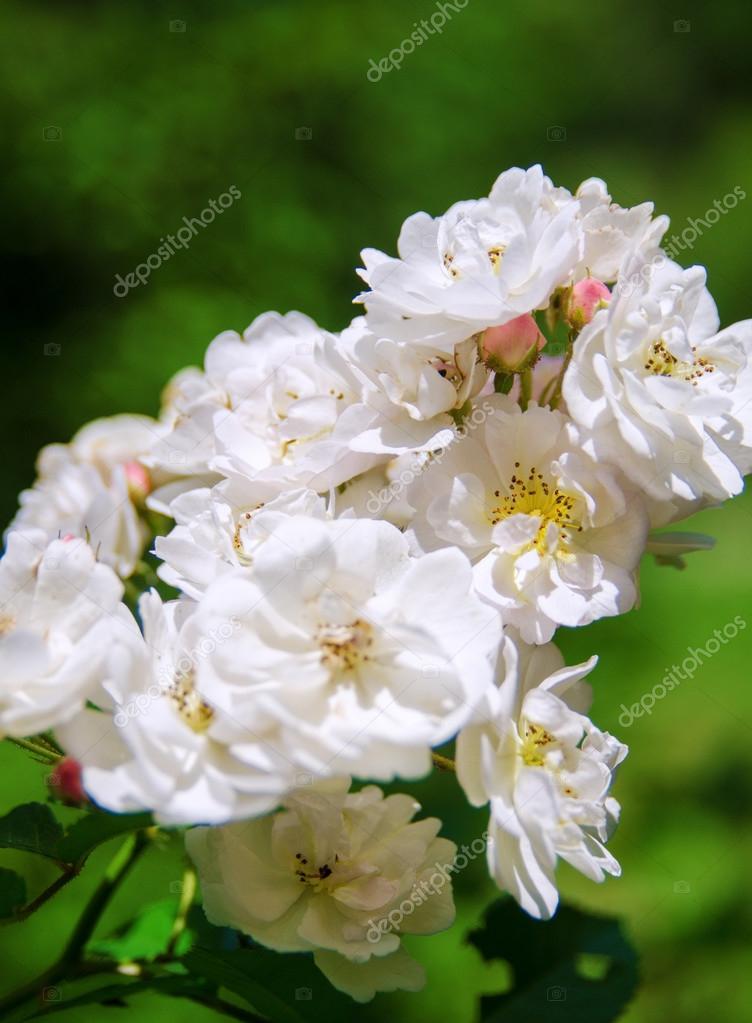 cerca de la flor color de rosa — Fotos de Stock © kovtunenko83 ...