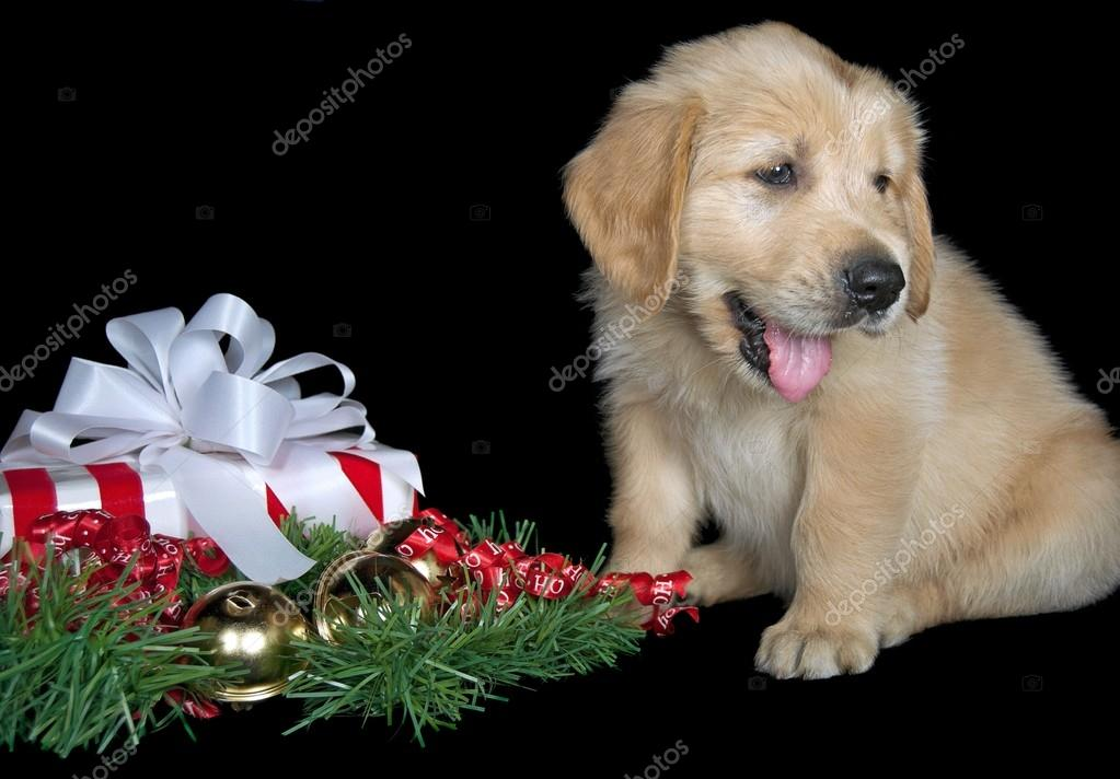 Regalo Labrador Golden Retriever Cachorro De Golden Retriever Con