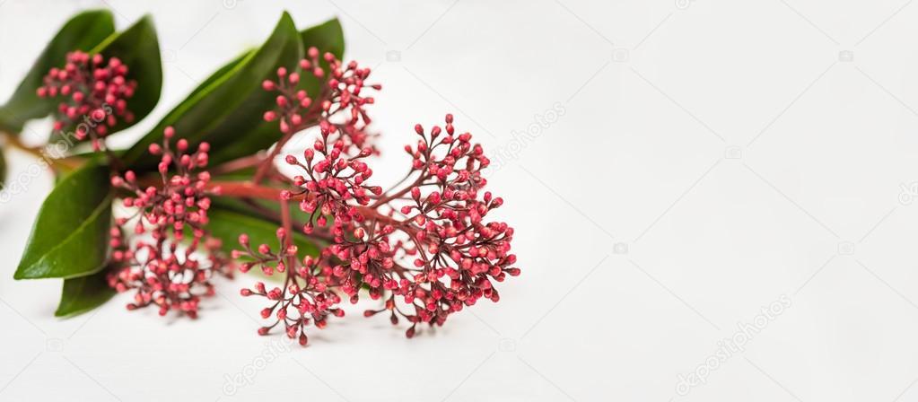 Skimmia japonica buds