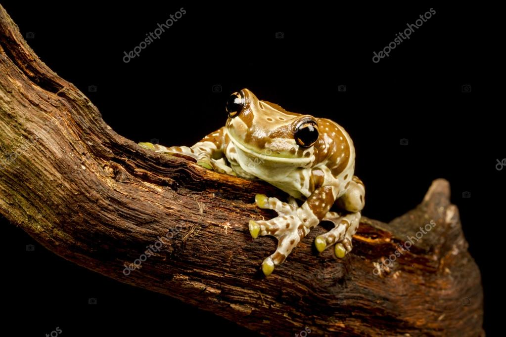 Mission golden-eyed tree frog or Amazon milk frog (Trachycephalus ...