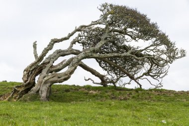 Ancient lone hawthorn tree (Crataegus monogyna),sculpted by the