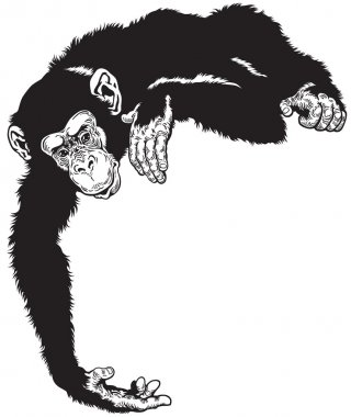 Chimpanzee black white