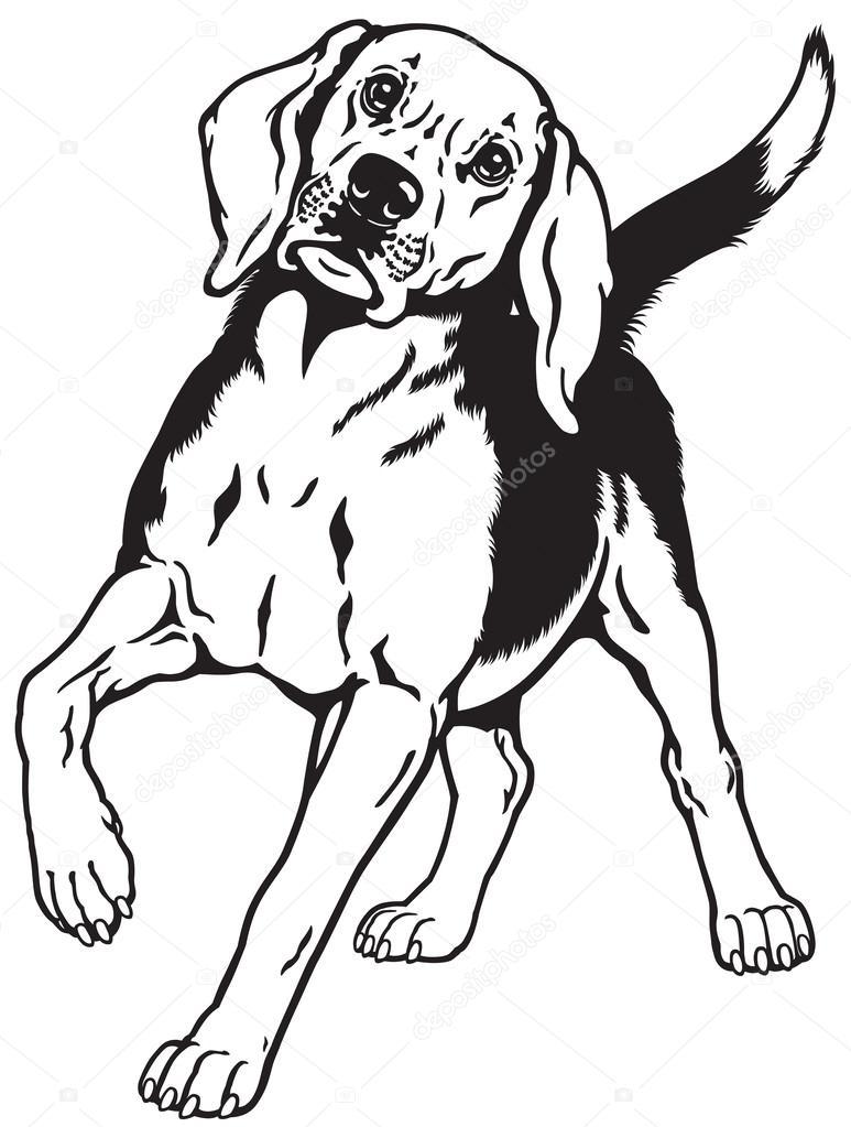 Beagle hound dog black white — Stock Vector © insima #56855721