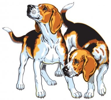 Two beagle hounds