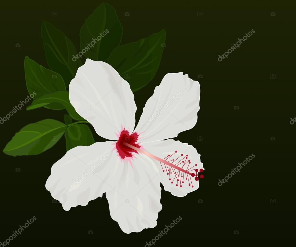 White hibiscus flower vector background with black copy space white hibiscus flower vector background with black copy space stock vector izmirmasajfo