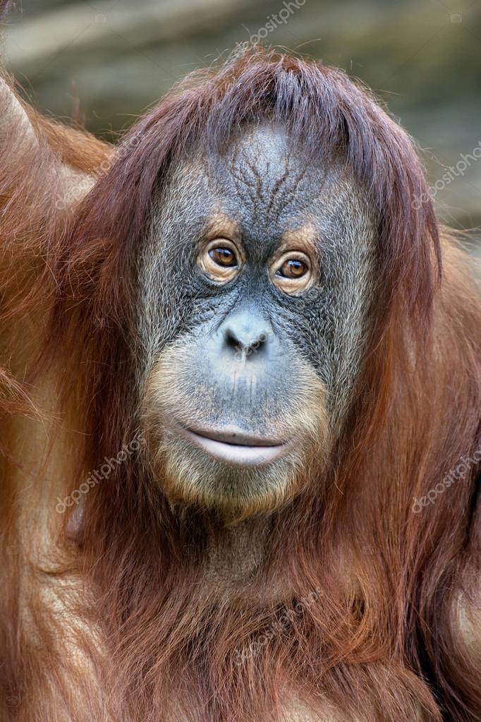 Female Orangutan Hanging On The Rope Stock Image - Image