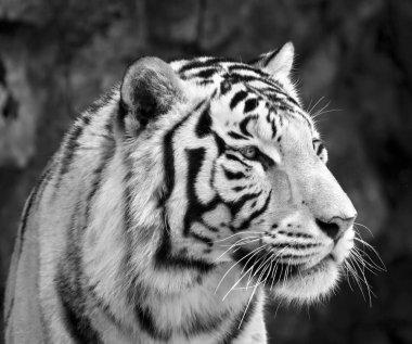 Black and white closeup portrait of white bengal tiger.
