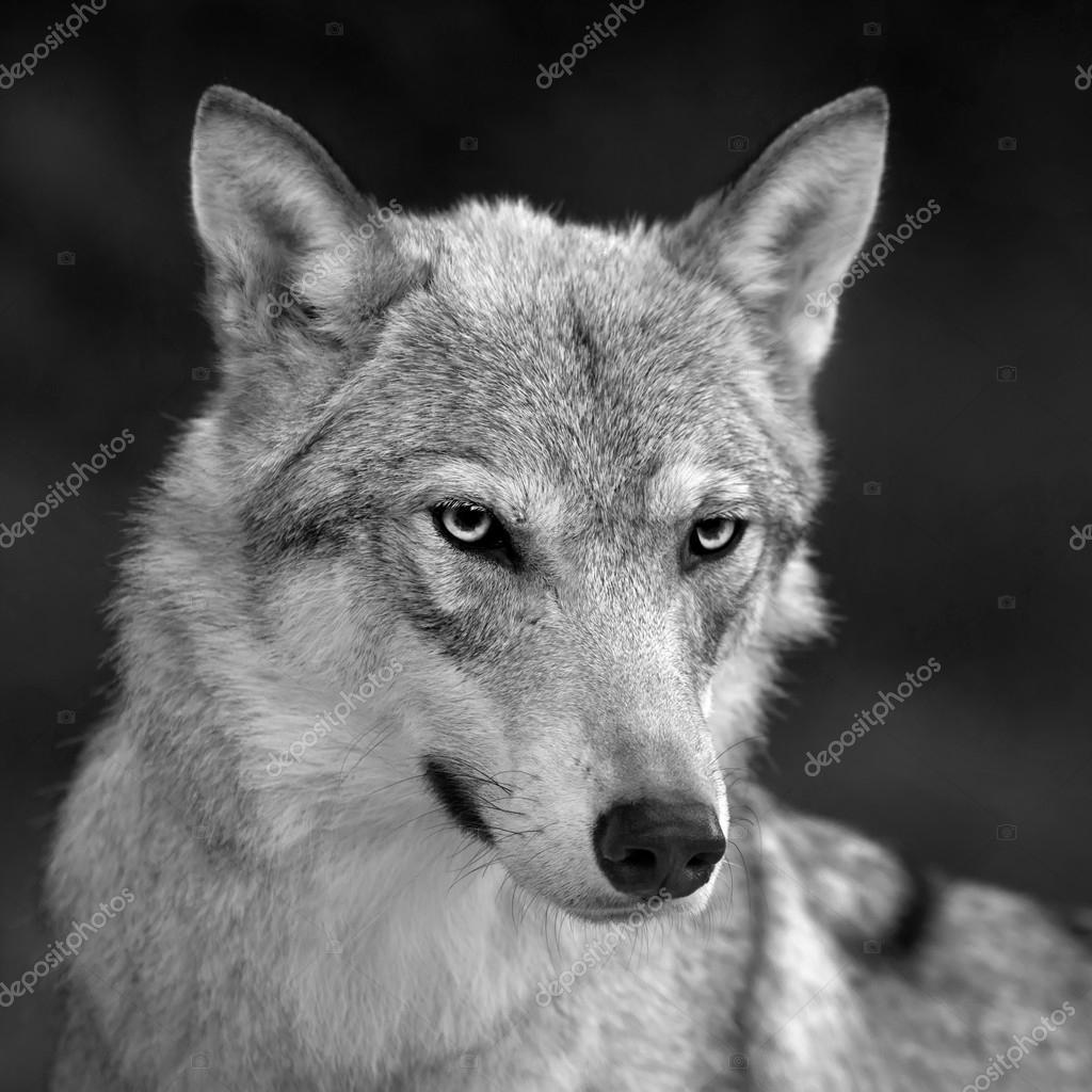 Schwarz Und Weiß Closeup Portrait Des Grauen Wolf Weiblich