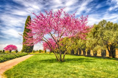Beautiful Garden with flowered cherry trees, cypresses and olive