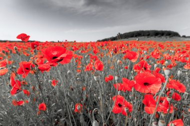 Black and white image with red field poppies.
