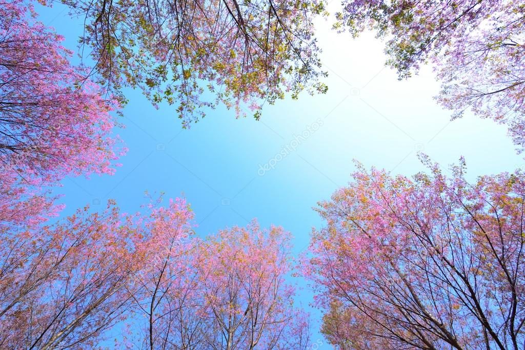 frame of wild himalayan cherry,Pink Cherry Blossoms with Blue Sk