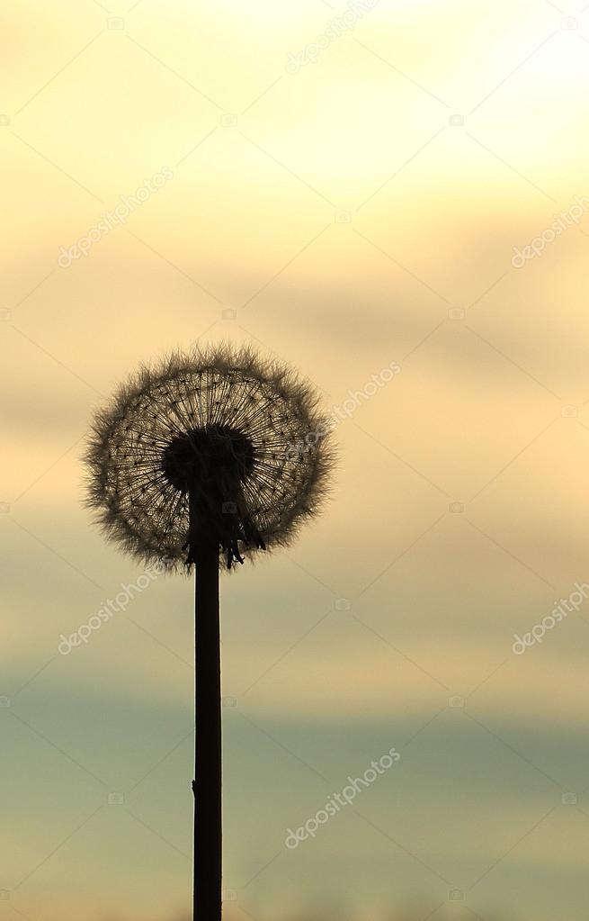 silhouette of dandelion flower
