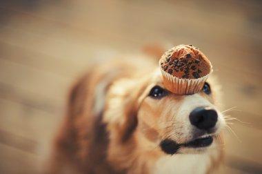 Border collie dog keeps cake on her nose