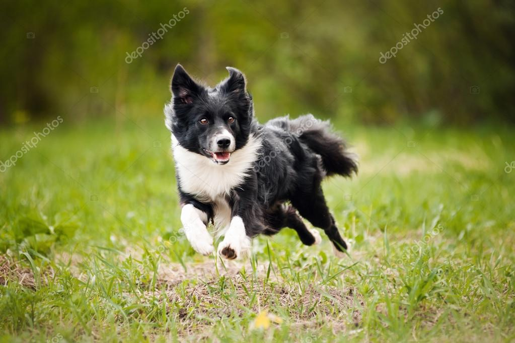 Young border collie dog
