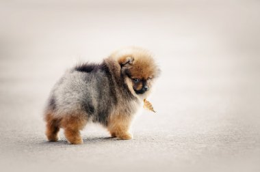 Pomeranian Spitz puppy walking